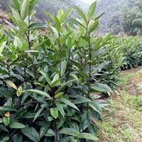 出售大叶冬青(苦丁茶)小苗,高度30-100,数量20万