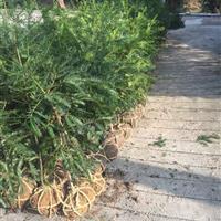 出售2-8公分香榧,草榧,香榧1-2年苗