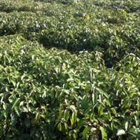 香樟树苗、江西一年生香樟小苗、大叶樟、高60公分、粗度0.6