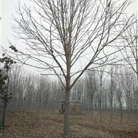 各种规格七叶树,日本晚樱,教育苗木专业销售