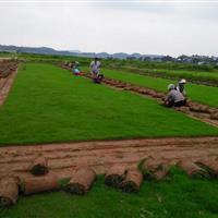 湖南马尼拉草坪、优质草坪批发基地、马尼拉草皮