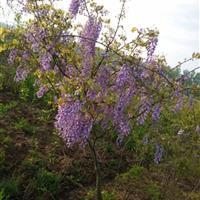 常年出售紫藤、凌霄、金银花等藤本植物