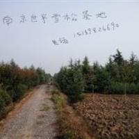 南京雪松 雪松1米--12米雪松價格