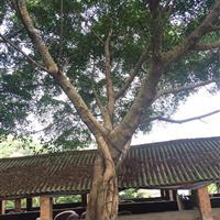 佛山三水地区30-80公分榕树