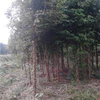 水杉产地 15公分水杉价格 10公分水杉价格