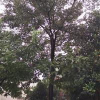 樸樹 18公分樸樹價格20公分樸樹價格 25公分樸樹價格