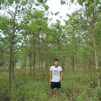 南京喜树价格 喜树10公分 喜树12公分喜树基地15公分价格