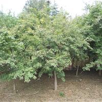 南京鸡爪槭价格 5公分鸡爪槭---12公分鸡爪槭价格