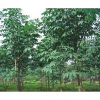 南京七叶树价格 七叶树8公分--20公分七叶树基地量大