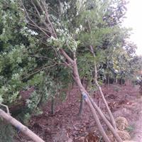 南京元寶楓價格 五角楓價格 三角楓價格等 大量綠化苗木