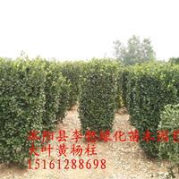 江蘇供應冬青柱大葉黃楊柱1.2-1.5-1.8-2-2.5米