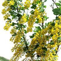 苏格兰金莲树