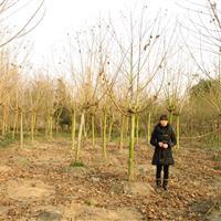 工程绿化苗木乔木水杉及小苗、垂柳、国槐、木芙蓉、油橄榄