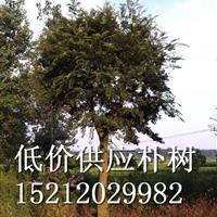 低價供應樸樹 安徽樸樹 滁州樸樹