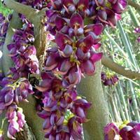 爬藤植物油麻藤 攀援油麻藤 油麻藤树苗 园林绿化 小区绿化