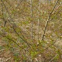 山楂树3-5公分*低价·山西3公分山楂树低价山楂树产地报价