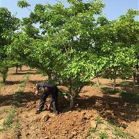 精品山楂树价格·8-15公分精品山楂树·山西山楂树行情走势