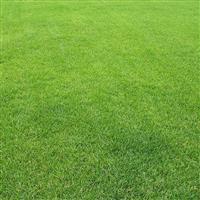 百慕大草坪 四季常青草坪 耐寒草坪 果岭草草坪园林绿化
