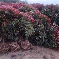 冠幅1米红叶石楠球 2米冠红叶石楠 3米冠红叶石楠