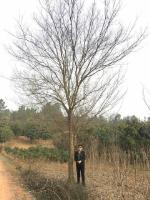 安徽合肥专供。榔榆。朴树。三角枫。黄连木