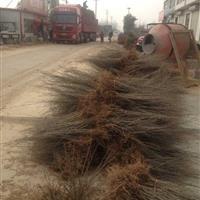 江苏水腊50公分高 水腊绿篱苗 水腊种子价格