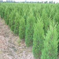 江蘇地區檜柏2米價格