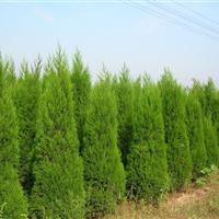 江蘇檜柏1.5米,自己苗圃,所以價格低