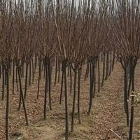 江苏地区红叶李4公分,自己苗圃苗,所以价格低
