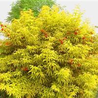 彩叶植物金叶莸 金叶莸小苗  园林绿化 小区绿化