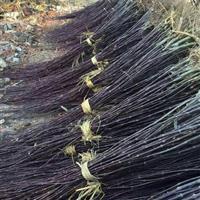 浙江小红枫大量供应,红枫小苗价格优惠