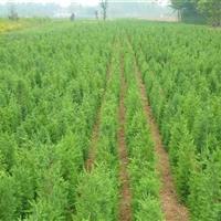 江蘇檜柏 自己家苗圃,大型苗木基地,所以價格低