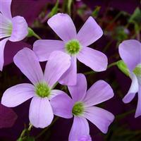紫叶酢浆草  红叶醡浆草   园林绿化小区绿化