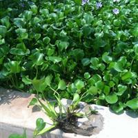 水体绿化水葫芦实惠.种植水葫芦价格.水葫芦基地