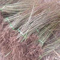 优质连翘50-120公分 连翘苗种植批发 连翘苗基地