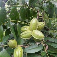 美国薄壳山核桃树