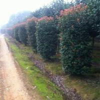 供应红叶石楠柱,红叶石楠球,各种规格红叶石楠销售