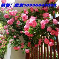 红花蔷薇2018价格 蔷薇1米高小苗, 别称野蔷薇