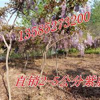 江苏紫藤价格2公分/3公分/4公分紫藤价格,紫藤小苗价格