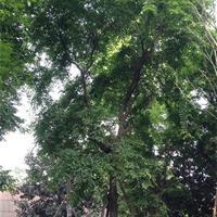 各類喬灌木,主打欒樹各種規格
