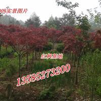 江蘇紅楓價格2公分/3公分/4公分紅楓價格.紅楓小苗基地