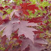 江蘇地區紅楓3公分,苗圃自己家苗,紅楓4公分