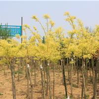 江苏地区超低价格供应黄金槐,黄金槐价格,黄金槐大量