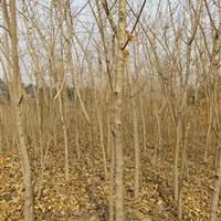 河南五角枫种植基地,五角枫规格齐全