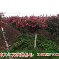 江苏紫薇价格3公分/4公分/5公分/6公分紫薇价格图片,紫薇