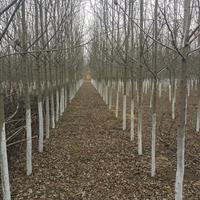 江苏地区供应美国红枫1-15公分