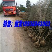 江苏木槿1-6公分价格,优质木槿基地图片,种植木槿工程苗,