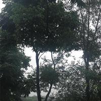 供应大量栾树,榉树,大叶女贞,小叶榕,蓝花楹等