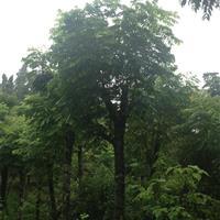 大量栾树,榉树,黄桷树,小叶榕,优质货源,欢迎来电