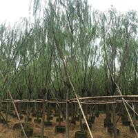柳树(垂柳、杨柳)袋苗
