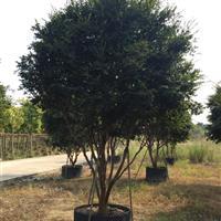 树葡萄(台湾嘉宝果)移植苗
